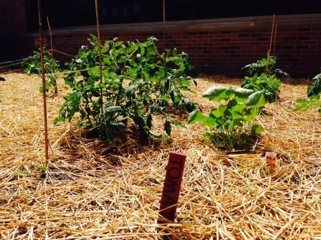 Every summer, SPH students care for a shared community garden.