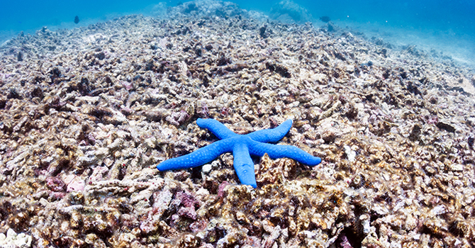 Blue starfish lays on a coral reef in the ocean.